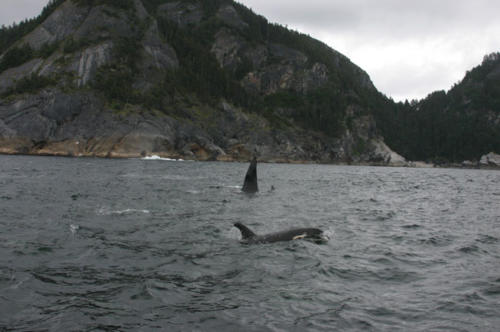 Killer Whales closing in on my King Salmon off the coast of Prince of Wales Island. Note the juvenile in the foreground.
