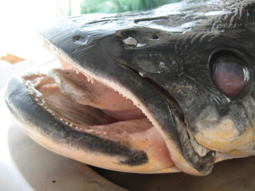 The great Arapaima head which would later prove to be my undoing.