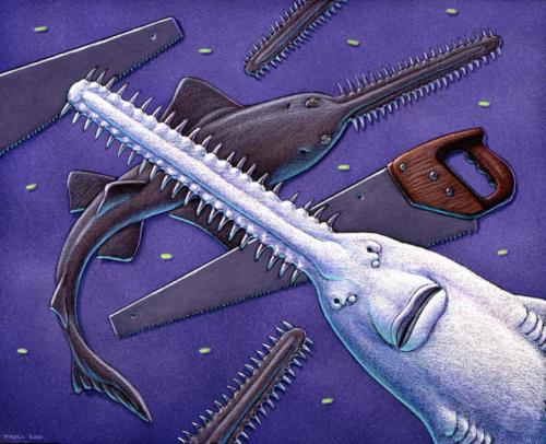 Queensland Sawfish